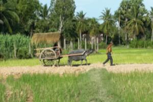 캄보디아 버팔로 투어(우마차 관광)